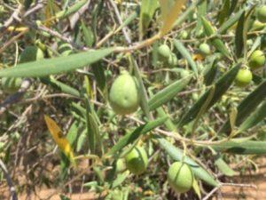 Aceites extremeños: del olivar a la mesa Image