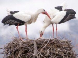 SENDERISMO Y BIRDING: Cigüeñas en el enclave árabe de Montemolín Image