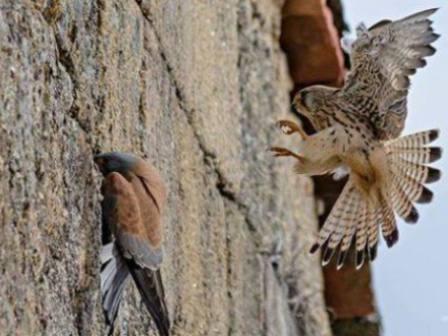 BIRDING: Cernícalos Primilla y aves urbanas en tierras de Zurbarán Image